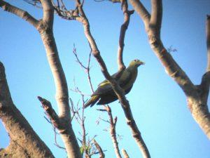 Peninsular Lowland Birds