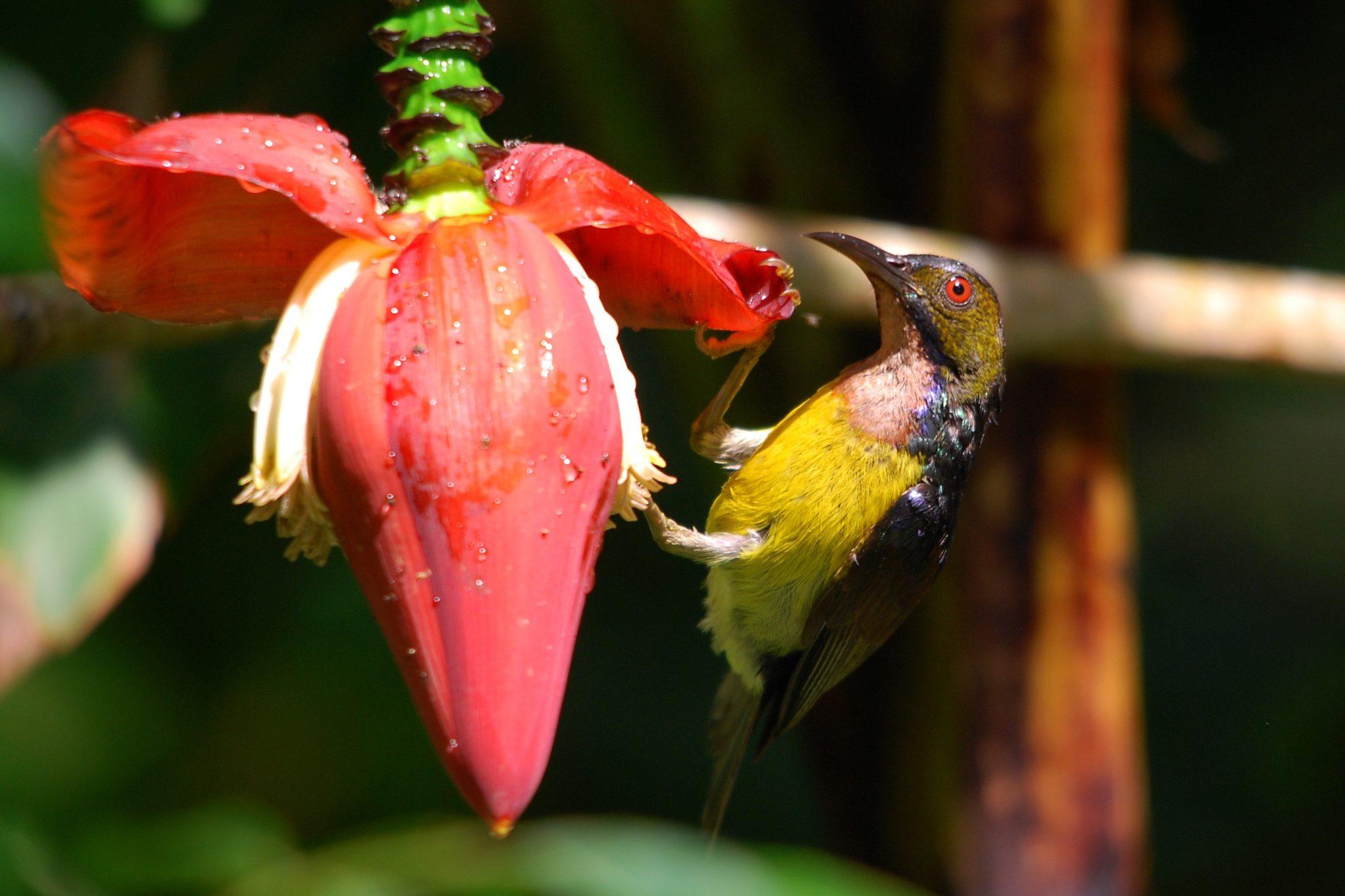 Penang-Brown-throated Sunbird