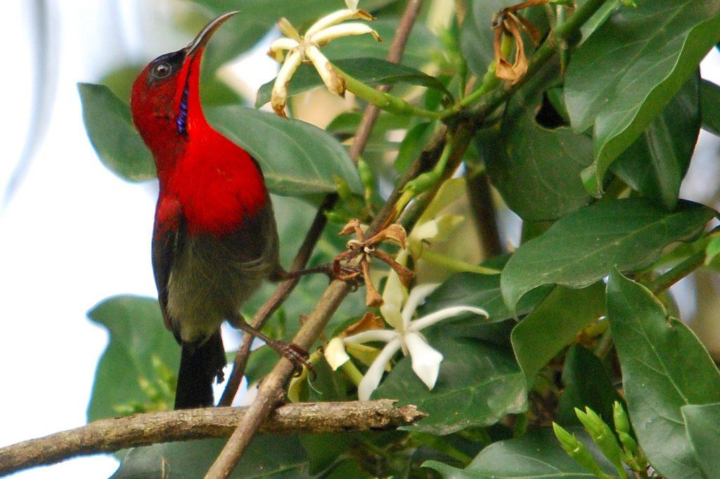 Penang-Crimson Sunbird
