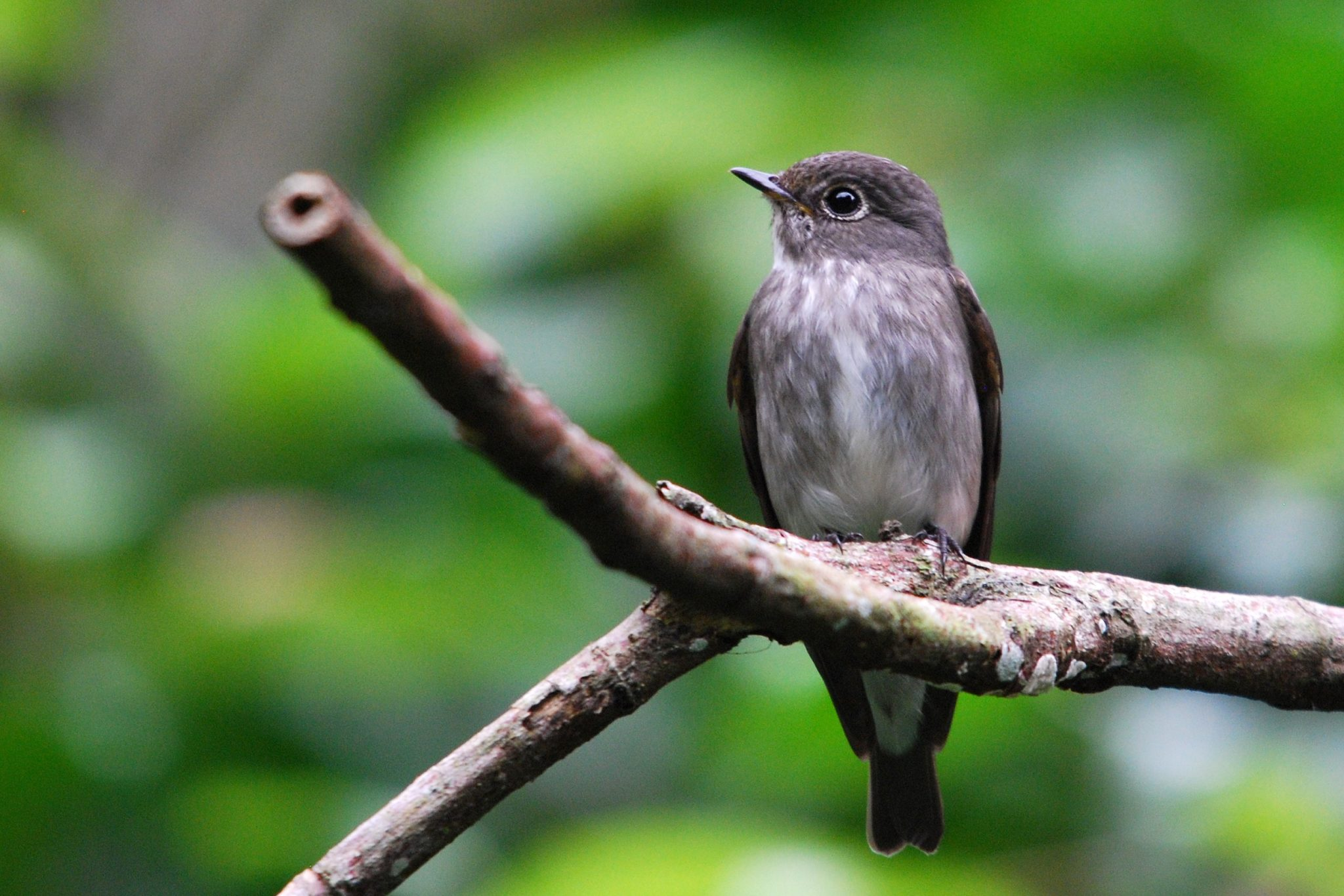Penang-Dark-sided Flycatcher