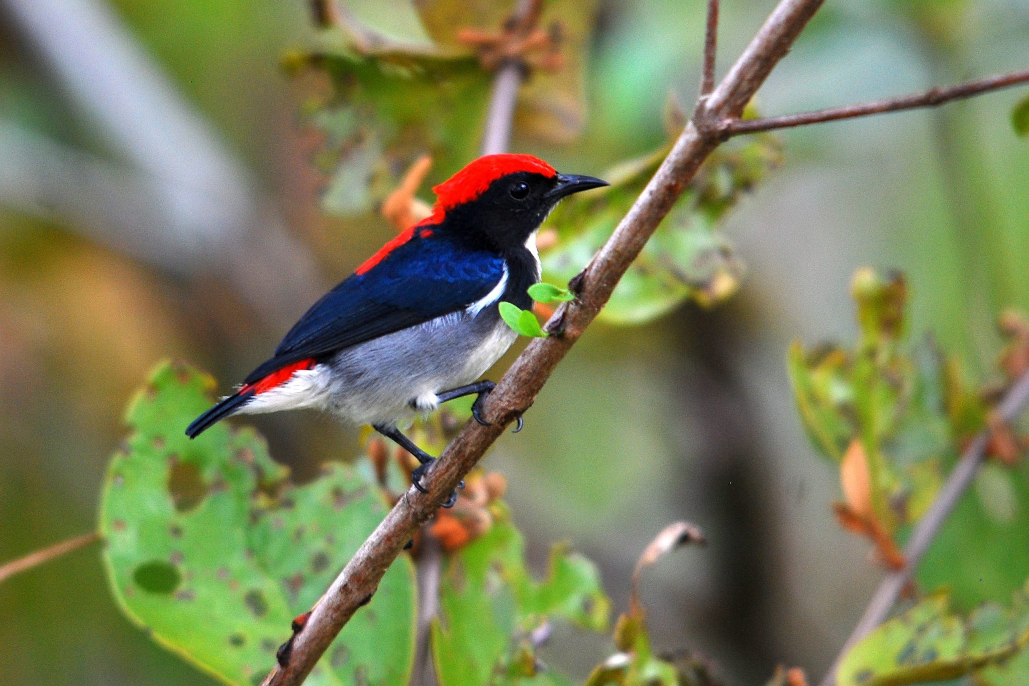 Penang-Scarlet-backed Flowerpecker