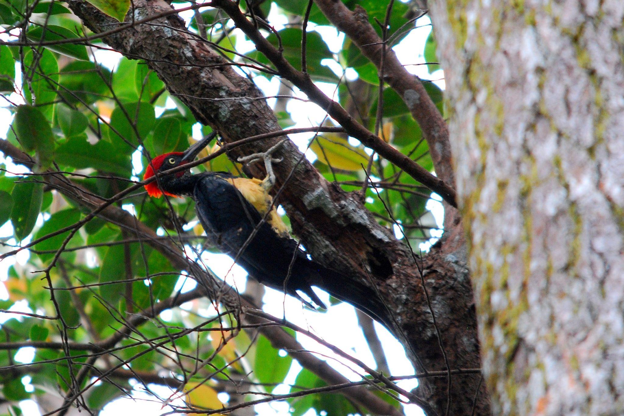 Penang-White-bellied Woodpecker