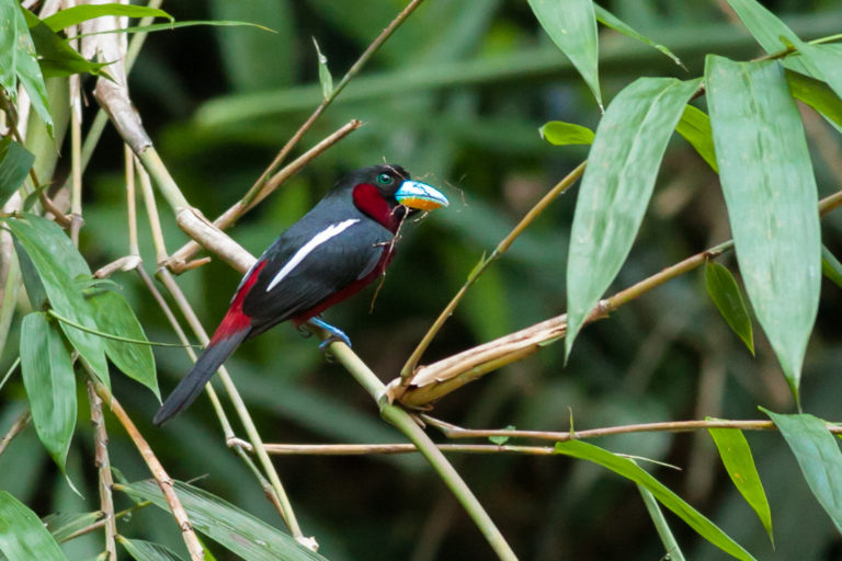 Fraser's Hill-Black-and-Red Broadbill