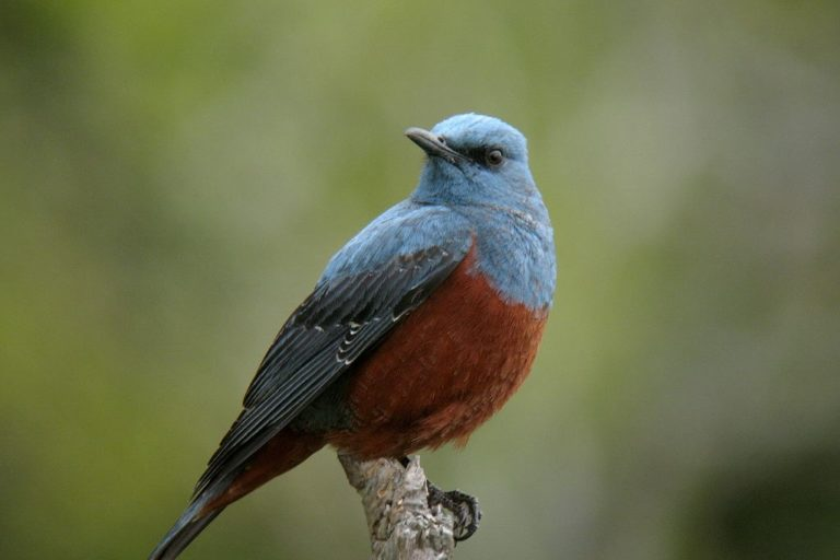 Fraser's Hill-blue rock-thrush