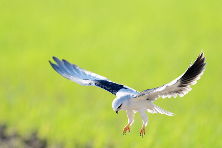 Kuala Selangor Birding (4)