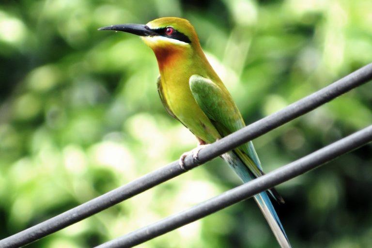 Kuala Selangor Birding (5)
