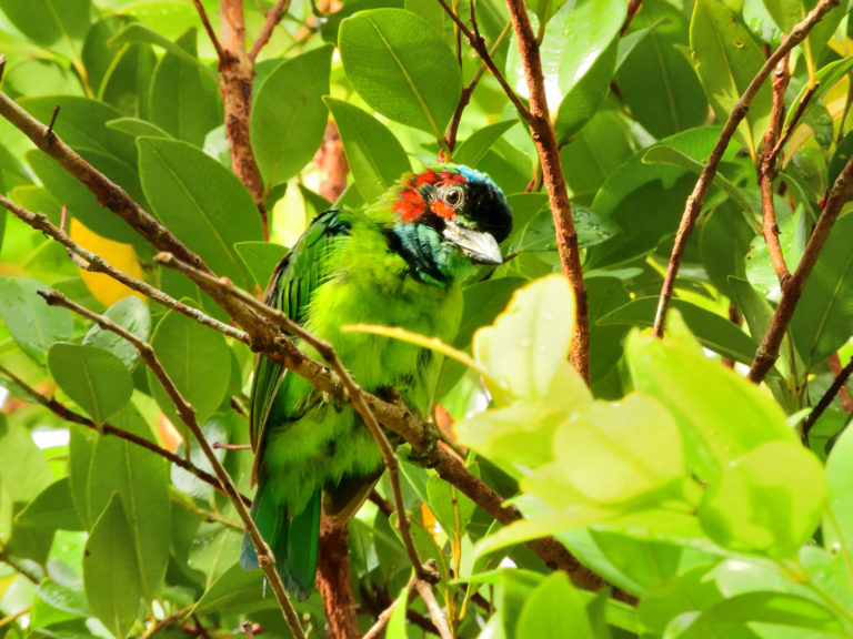 Perlis-Blue-eared Barbet