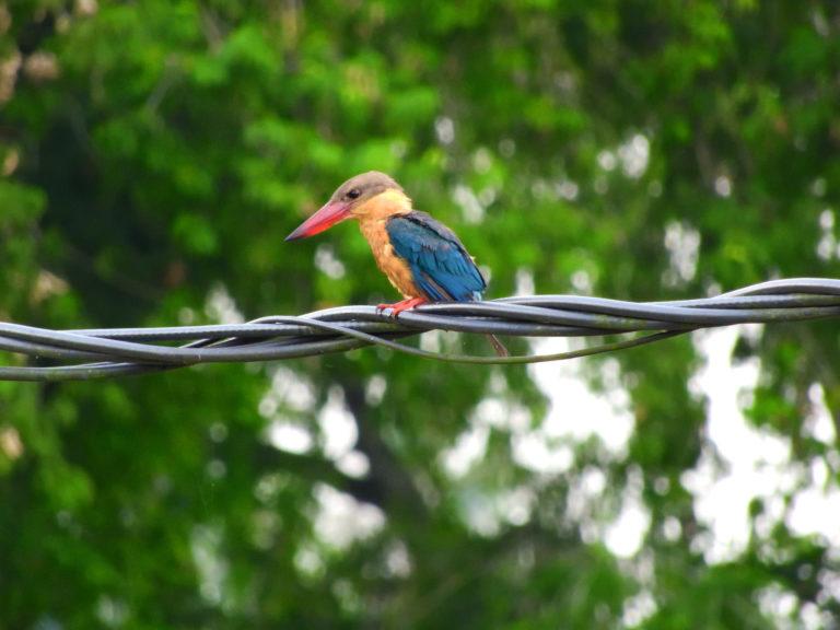 Perlis-Stork-billed Kingfisher