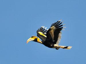 Peninsular Malaysia Hornbills Tour