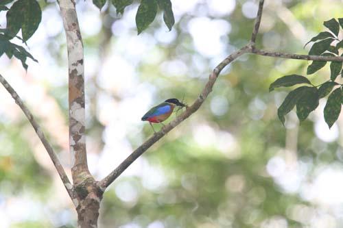 langkawi-birding-2day- (15)