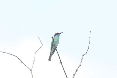 langkawi-birding-2day- (2)