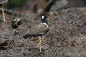 Borneo Wetland Birds