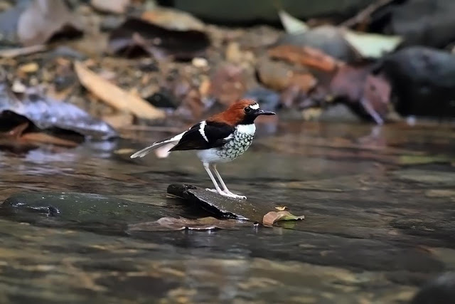 Chestnut-backed Forktail