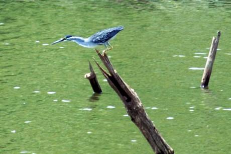 Heron-little