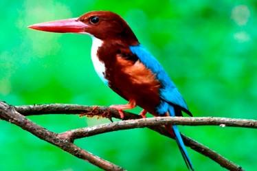 Kingfisher-white-throathed