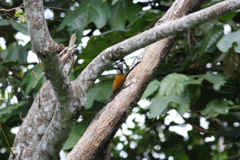 Woodpecker - Greater Flameback