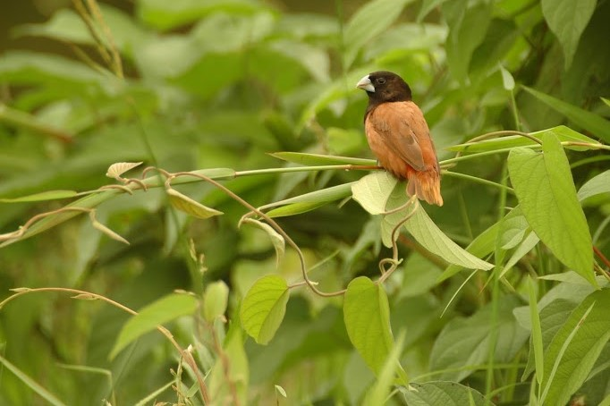 central-route-Chestnut-Munia