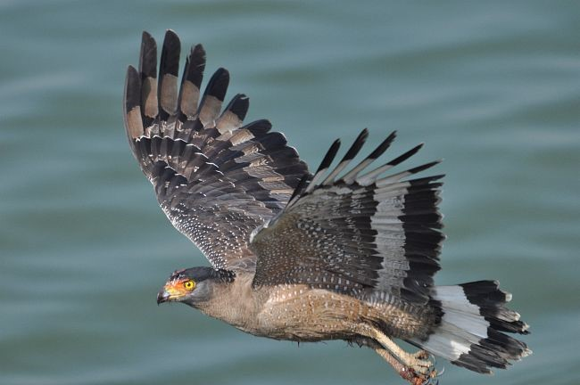 central-route-crested-serpent-eagle
