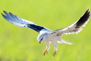 kite-black-shoulder