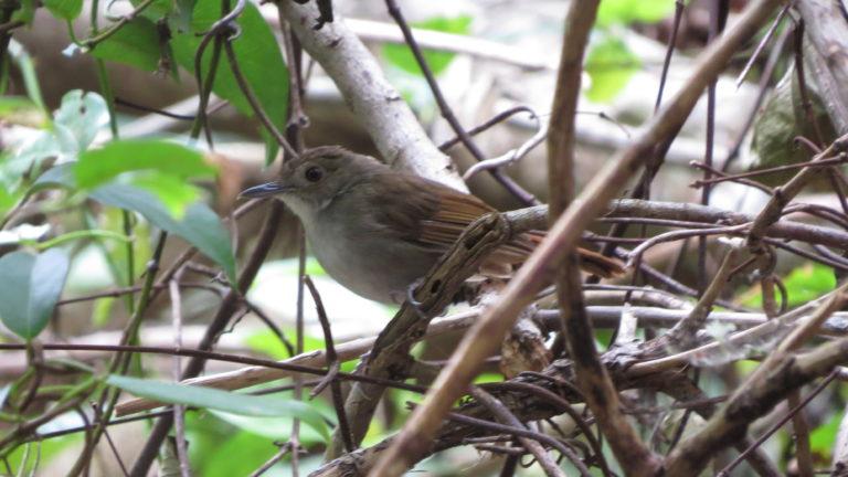 north-sulawesi-birding (2)