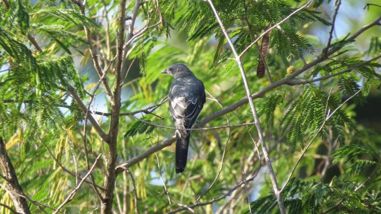 north-sulawesi-birding (7)
