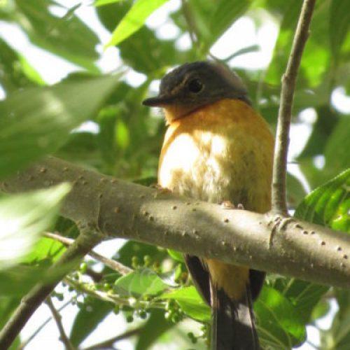 north-sulawesi-birding (10)