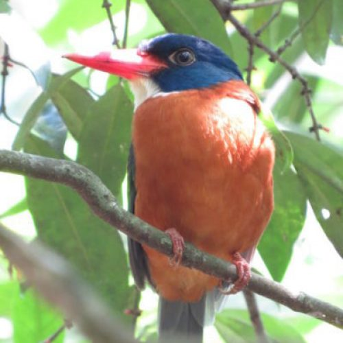 north-sulawesi-birding (4)